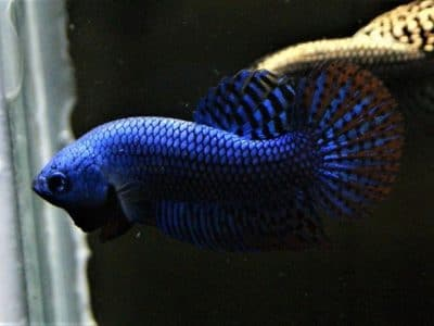 Blue Alien Betta – Pair Available