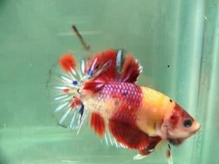 Candy Fancy HMPK – Fancy Betta Fish For Sale