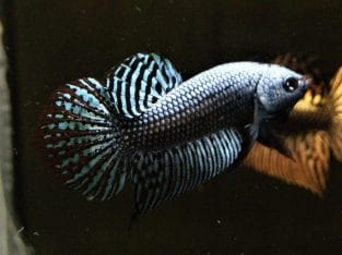 Grey Alien Betta – Pair Available