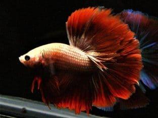 Halfmoon Betta Red Tail