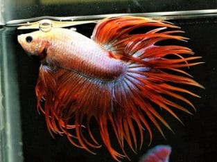 Red Tail Crowntail Betta