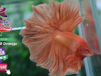 Halfmoon Rosetail orange