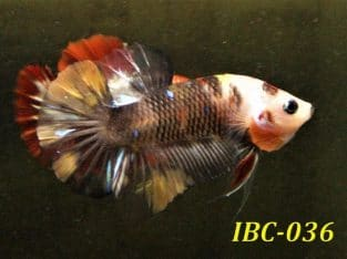 Black Koi HMPK #IBC036 For Sale
