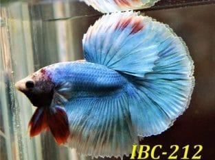 Blue Fancy Betta Fish #IBC-212