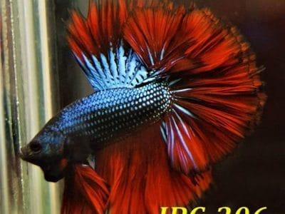 Fancy Betta Fish For Sale #IBC-206