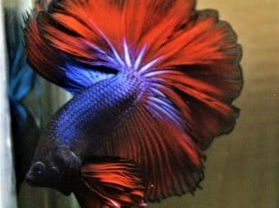Fancy Rosetail Halfmoon Betta For Sale #IBC147