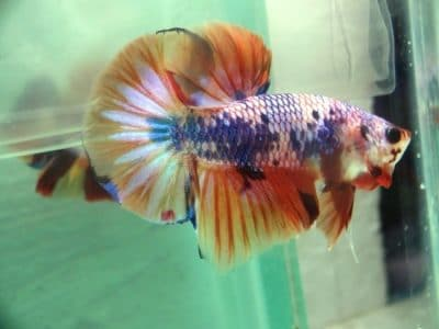 Orange Fancy Betta Fish For Sale