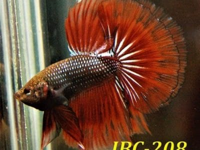 Red Fancy Betta Fish For Sale #IBC-208