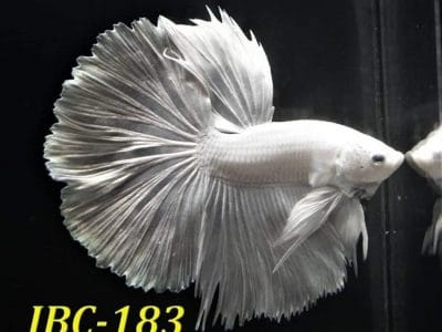 White Halfmoon Betta For Sale #IBC183