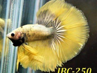 Yellow Halfmoon Betta For Sale #IBC-250