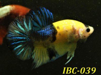 Yellow Koi HMPK #IBC039 For Sale