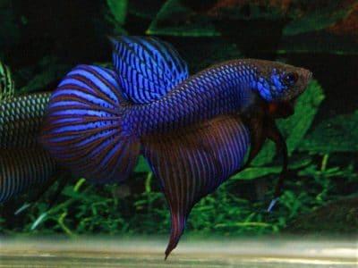 Betta smaragdina blue