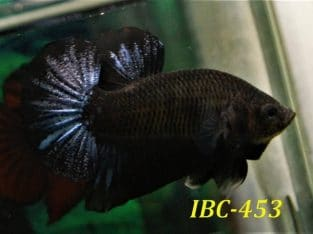 Black betta fish for sale #IBC453
