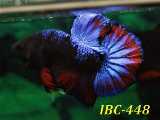 Blue fancy plakat betta for sale #IBC448