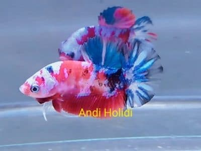 Galaxy fancy betta fish