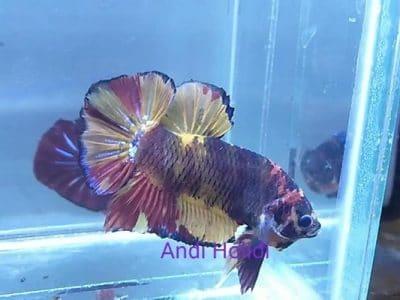 Giant betta fish for sale – Fancy giant