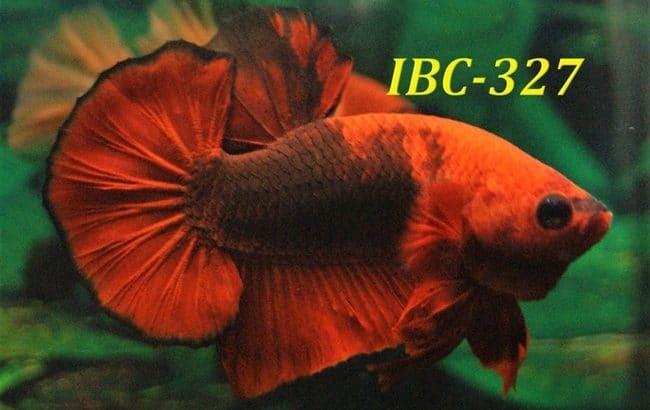 Hellboy betta for sale #IBC327
