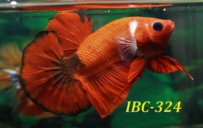 Hellboy betta for sale #IBC324