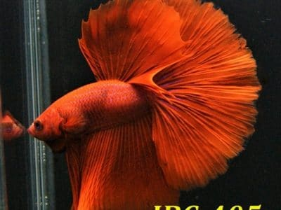 Red halfmoon betta #IBC405