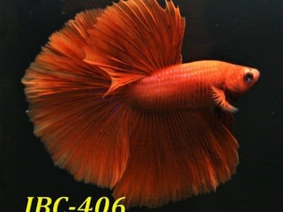 Red halfmoon betta #IBC406