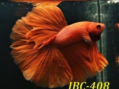 Red halfmoon betta for sale #IBC408