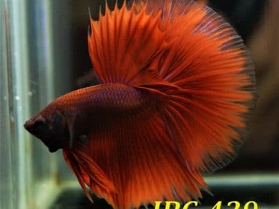 Red halfmoon betta for sale #IBC429