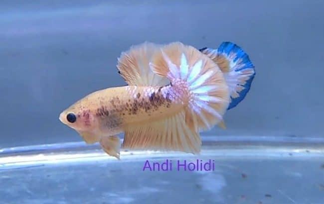 Yellow fancy betta fish