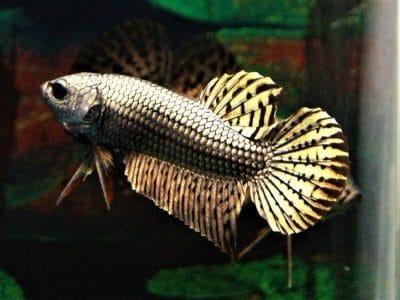 Alien Copper Wild Betta Fish