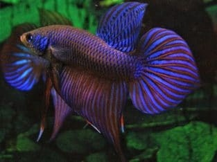 Betta Smaragdina Big Spade tail #14