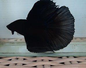 Super black halfmoon betta for sale