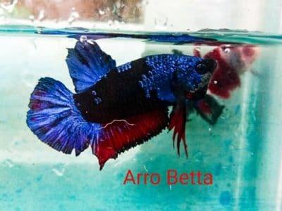 Blue fancy betta fish