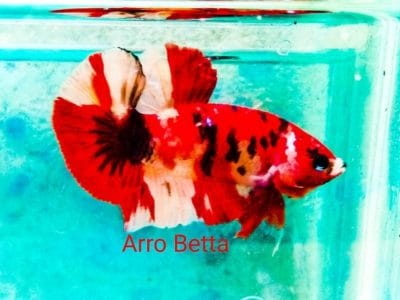 Candy koi betta fish for sale
