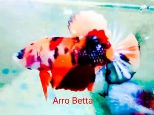 Fancy betta fish for sale