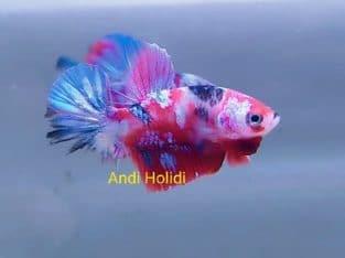 Galaxy fancy betta fish for sale