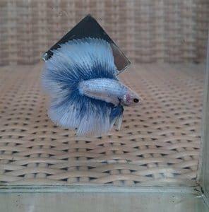 Grizzle betta fish for sale