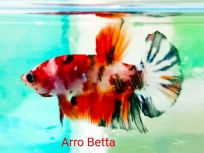 Koi betta for sale – Koi plakat betta