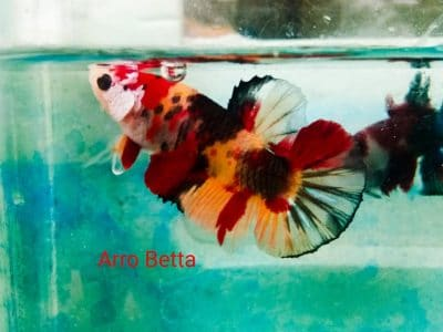 Orange koi betta fish for sale