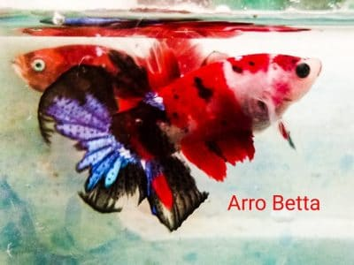 Red fancy betta fish for sale