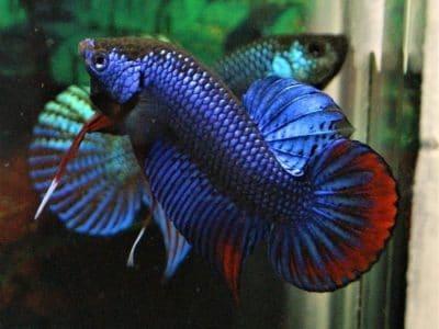 Wild betta for sale – Blue betta imbellis