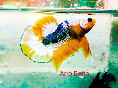 Yellow fancy betta fish for sale
