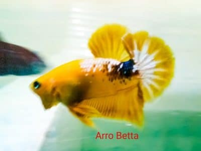 Yellow fancy betta fish for sale