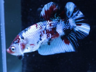 WHITE FERRARI HALFMOON PLAKAT KOI BETTA MALE #1270