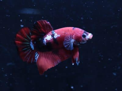 BRED DRAGON HALFMOON PLAKAT KOI BETTA #1274 USA