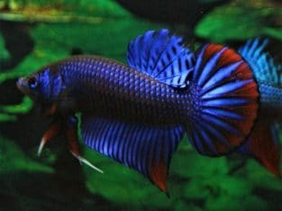 Blue Betta Imbellis For Sale