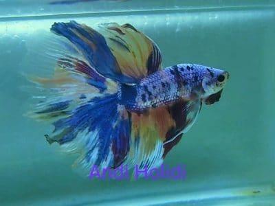 Blue Fancy Halfmoon Betta