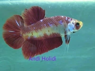 Galaxy Red Giant Betta For Sale