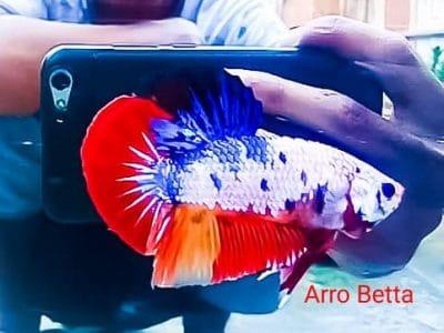 Muti color giant betta body 5 cm+