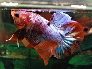 Pink fancy Betta Fish For Sale