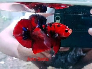 Red Fancy Betta Fish From Indonesia Seller