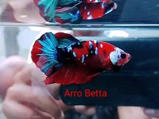Red Galaxy Fancy Betta Fish From Indonesia Seller